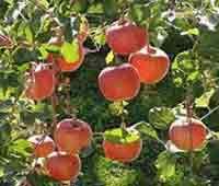 """Яблоки сорта """"Штрейфлинг"""" (Осеннее полосатое)"""