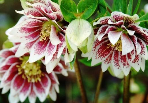 Все садовые клубневые цветы