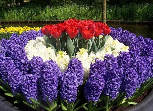 Домашние цветы Гиацинты. Уход и выращивание дома