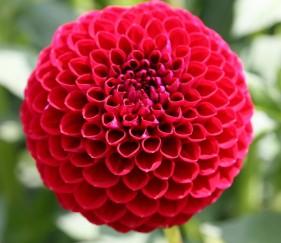 Фото георгина цветка