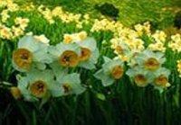 Нарциссы. Луковичные садовые цветы