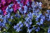 Рябчики. Луковичные садовые цветы