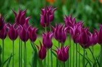 Тюльпаны. Садовые цветы