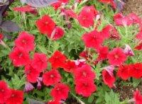 Колхикумы. Клубнелуковичные цветы