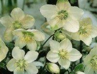Морозники. Садовые цветы