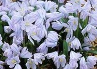 Пролески. Луковичные садовые цветы