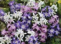 Хионодоксы. Луковичные цветы