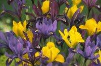 Ирисы луковичные. Садовые цветы