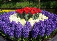 Гиацинты. Садовые цветы