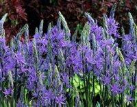 Камассия. Луковичный садовый цветок