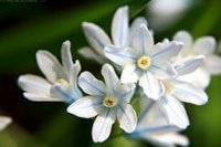 Пушкиния. Декоративный цветок