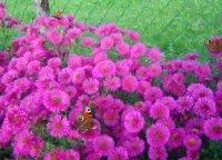Астра. Декоративный многолетний цветок