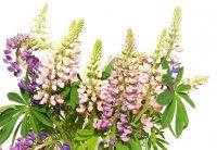 Люпин. Многолетний садовый цветок