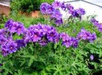 Герань садовая. Декоративный куст