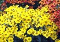 Гелениум. Садовый цветок