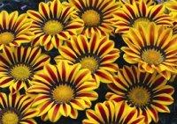 Гацания. Декоративный садовый цветок