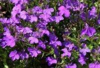 Лобелия. Декоративные садовые цветы