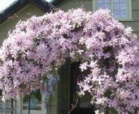 Клематис. Садовый декоративный цветок