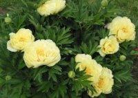 Пион. Клубневый садовый цветок