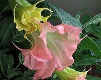 Бругмансия. Многолетний садовый цветок