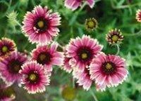 Гайлардия. Декоративный многолетний цветок