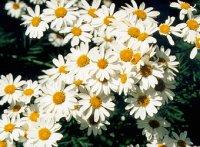 Пиретрум. Многлетние садовые цветы