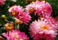 Георгин. Многолетний садовый цветок