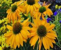 Эхинацея. Декоративный лечебный цветок