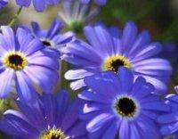 Брахикома. Декоративный садовый цветок