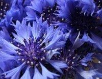 Василёк. Дикорастущий садовый цветок