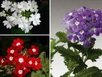Вербена. Декоративные садовые цветы