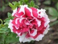 Петуния. Декоративный цветок