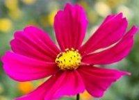 Космея. Декоративный цветок