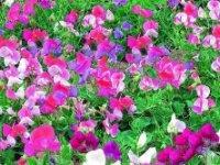 Горошек душистый (Чина душистая). Садовый цветок