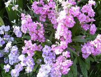 Маттиола (Левкой). Садовый цветок