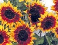 Подсолнечник (Гелиантус). Садовые цветы