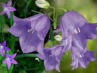 Колокольчик (Кампанула). Дикорастущий цветок