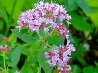 Душица. Дикорастущий садовый цветок