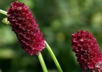 Кровохлёбка. Дикорастущий цветок