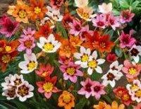 Спараксис. Садовый цветок