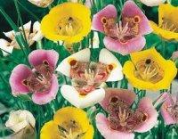 Калохоротус. Луковичный садовый цветок