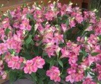 Альстремерия или Перуанская лилия