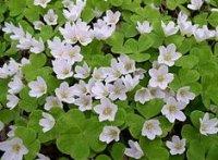 Кислица. Клубневый садовый цветок
