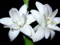 Полиантес или тубероза. Садовый цветок