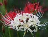 Ликорис. Луковичный садовый цветок