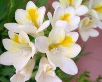 Фрезия. Клубнелуковичные садовые цветы