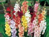 Гладиолус. Многолетний садовый цветок
