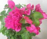 Амарилис. Луковичные садовые цветы