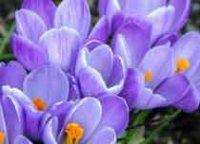 Подснежник. Клубнелуковичный цветок