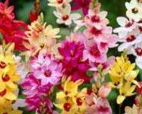 Иксия. Клубнелуковичные садовые цветы